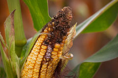 Immature, diseased and moldy corn cob on the field, close-up. Collect corn crop Royalty Free Stock Images