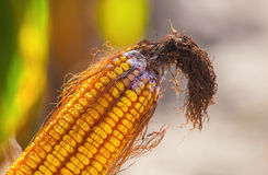 Immature, diseased and moldy corn cob on the field, close-up. Collect corn crop Stock Image