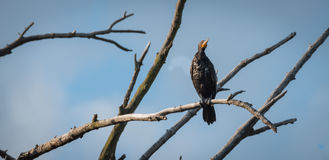 Immature Double crested Cormorant Phalacrocorax auritus sits way up high on a branch of a dead tree in summer sun. Immature Double-crested Cormorant Stock Photos