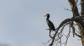 Immature Double crested Cormorant Phalacrocorax auritus sits way up high on a branch of a dead tree in summer sun. Immature Double-crested Cormorant Royalty Free Stock Image
