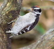 Immature Downy Woodpecker (picoides pubescens) Stock Photos