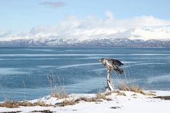 Immature eagle by the bay Stock Photo