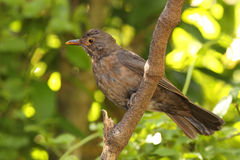 Immature European Blackbird Royalty Free Stock Photography