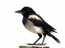 immature European Magpie isolated pica pica Royalty Free Stock Photo