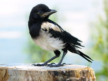 immature European Magpie pica pica Royalty Free Stock Photography