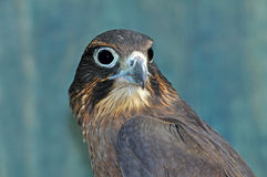 NZ Falcon Royalty Free Stock Images