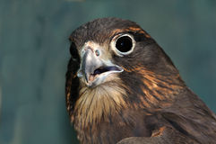 NZ Falcon Stock Images