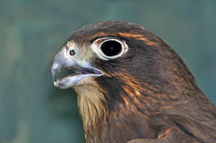 NZ Falcon Royalty Free Stock Image