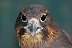 NZ Falcon Royalty Free Stock Photography