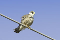 An immature female of red-footed falcons / Falco vespertinus Stock Image