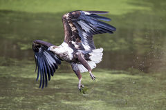 Immature fish eagle tried to catch and missed Royalty Free Stock Photo