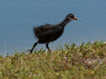 Immature fuzzy common moorhen by Lake Stock Photos