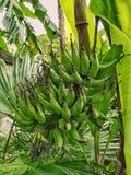 Immature golden banana Stock Photography