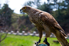 Immature goshawk Royalty Free Stock Images