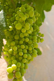 Immature grapes. Cluster of immature grapes Stock Images
