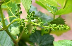 Immature grapes at winery in Guadalupe Valley Royalty Free Stock Photography