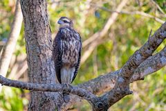 Immature Great Black Hawk, Buteogallus Urubitinga, bird of prey, Accipitridae, Pantanal, Brazil, South America. Immature Great Black Hawk, Buteogallus Urubitinga stock images
