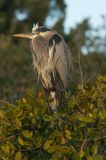Immature Great Blue Heron Stock Image