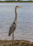 Immature Great Blue Heron Royalty Free Stock Photo