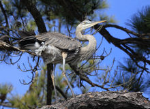 Immature,Great Blue Heron in the Trees Stock Photos