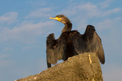 Immature  Great Cormorant / Phalacrocorax carbo Stock Images