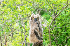 Immature Great Horned Owl Royalty Free Stock Photo