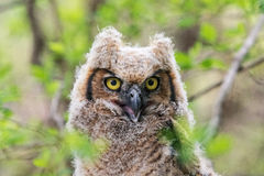 Immature Great Horned Owl Stock Photo