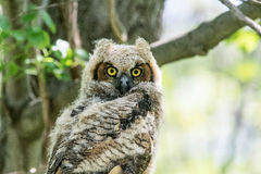 Immature Great Horned Owl Stock Images