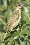 An immature of great reed warbler ( Acrocephalus arundinaceus ) Royalty Free Stock Image