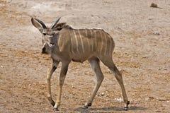 Immature Greater Kudu Bull Stock Photo