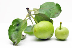 Immature green apple on a branch Stock Photos