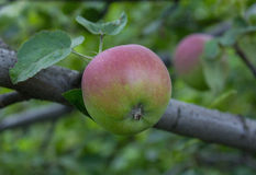 Immature green apple on a branch Stock Photography