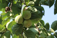 Immature green apples in green leaves royalty free stock images