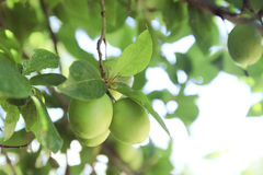 Immature green plum on the tree Stock Image