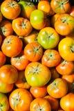 Immature green tomatoes Stock Photo