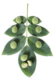 Immature green walnut fruit s leaf Royalty Free Stock Photo