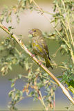 An immature of greenfinch / Carduelis chloris Royalty Free Stock Images
