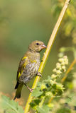 An immature of greenfinch  - close-up / Royalty Free Stock Photography