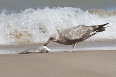 Immature Herring Gull Feeding on a Washed Up Carp. Immature Herring Gull (Larus argentatus) Feeding on the Carcass of a Carp Washed up on the Beach - Pinery Royalty Free Stock Photography