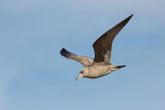 Immature Herring Gull in Flight Royalty Free Stock Photo