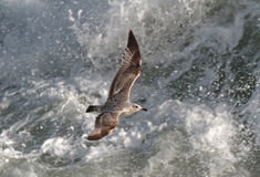 An immature Herring Gull, Larus argentatus argenteus in flight. An immature Herring Gull, Larus argentatus argenteus in flight against stormy sea, Chesil Beach Royalty Free Stock Images