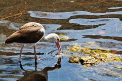 Immature Ibis Royalty Free Stock Images