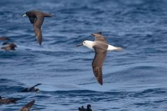 Immature Indian Yellow nosed Albatross royalty free stock photo