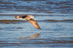 Immature Kelp Gull Stock Images