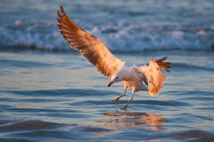 Immature Kelp Gull Stock Image