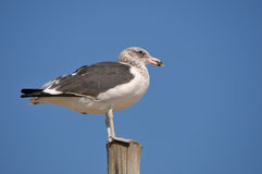 Immature Kelp Gull. On a pole at Swakopmund in Namibia Royalty Free Stock Photos