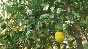 Immature lemon / fruit / flower / harvest / horticulture / agriculture / cultiva. Lovely green unripe fruit and flower (lemon stock video footage
