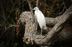 Immature Little Blue Heron in blackwater swamp. Reed Bingham State Park Stock Images