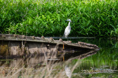 Immature Little Blue Heron Magnolia Springs State Park Royalty Free Stock Image