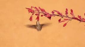 Anna`s hummingbird with red yucca flowers